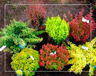 Кустарники лиственные